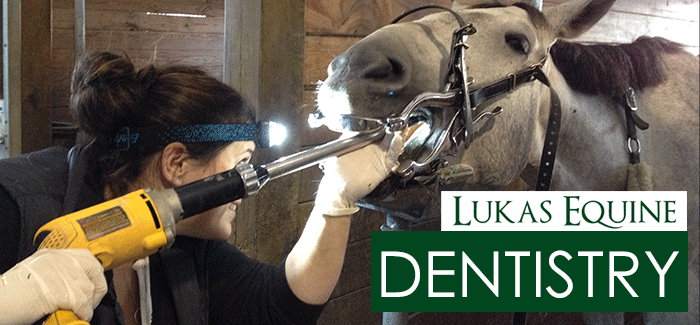 Equine Dentistry Teeth Cleaning Chicago